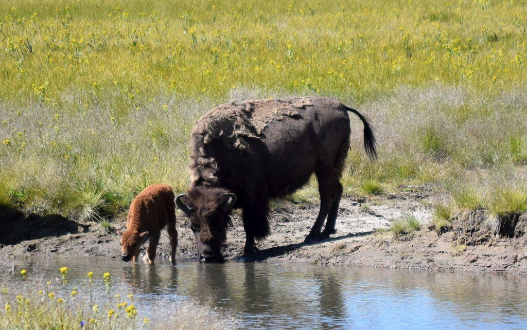 Calf and Cow Bison
