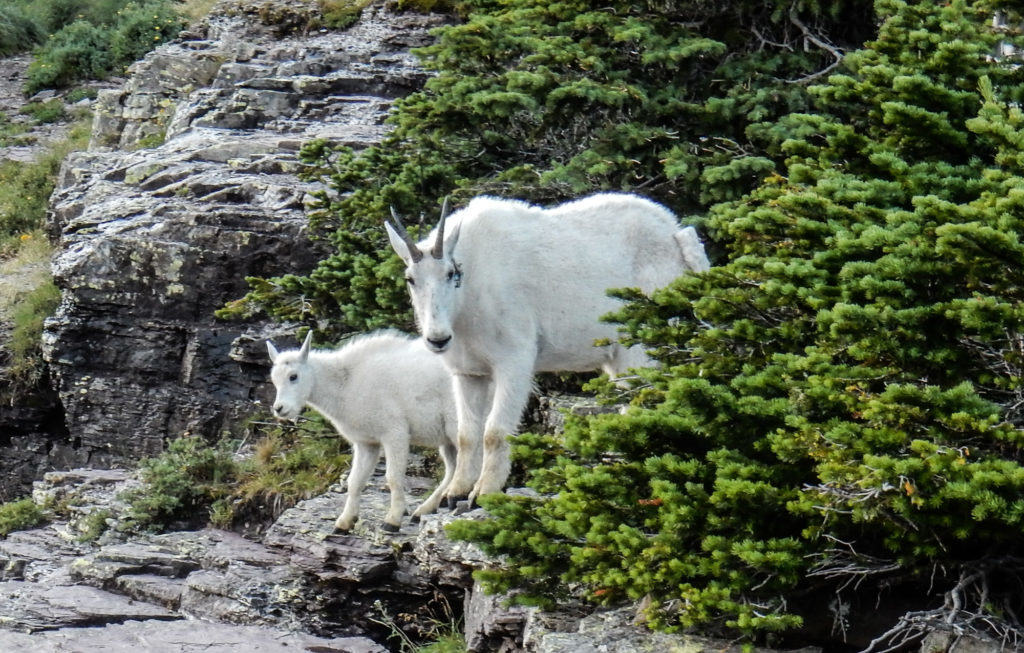 Momma Mountain Goat and Kid