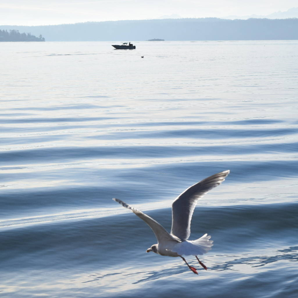 Bird and Boat on the Saratoga Passage