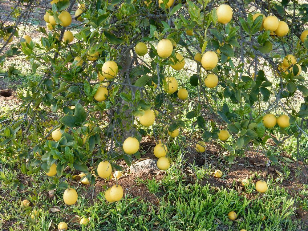 Pick a Lemon!