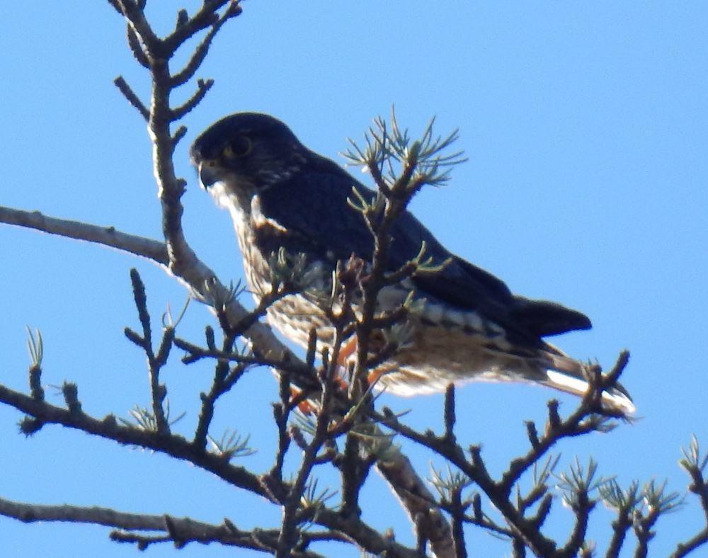 The Falcon of Castle Crest