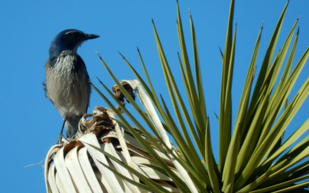 I think this is a Scrub Jay, we spotted him at Joshua Tree
