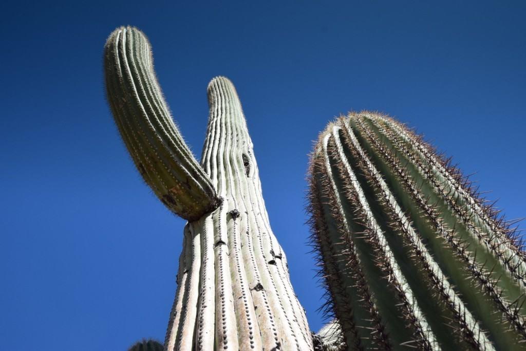 Saguaro Tall