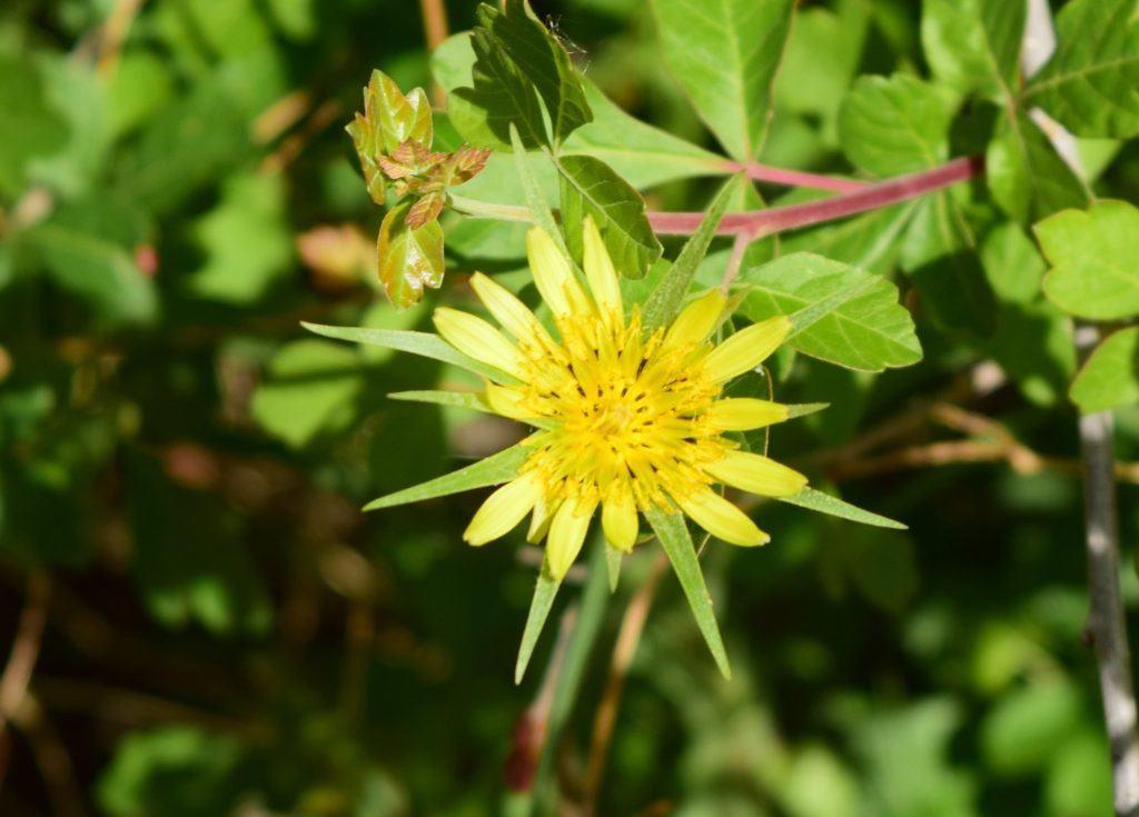Goatsbeard Flower along the Trail
