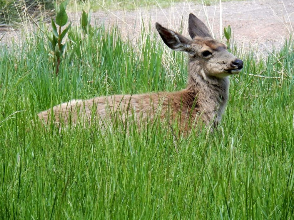 Deer resting in the grass within the orchard