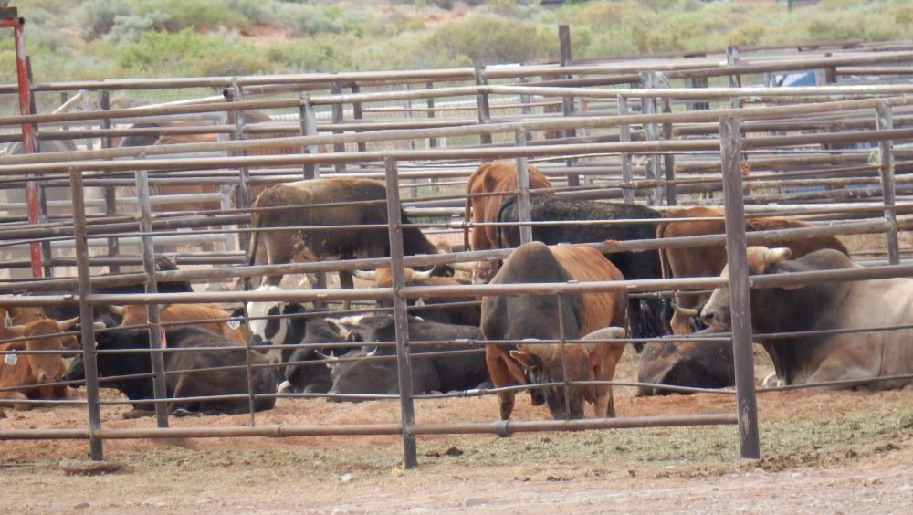 These bulls were milling around the rodeo grounds next door.