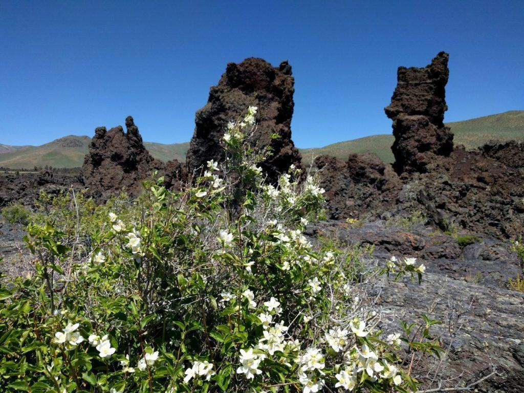 Syringa, grow inbetween cracks in the lava flow