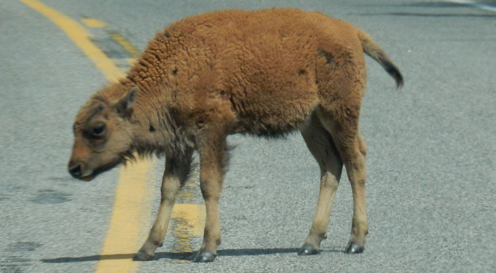 Taxes aren't much fun. Lets look at a baby buffalo from Yellowstone instead!