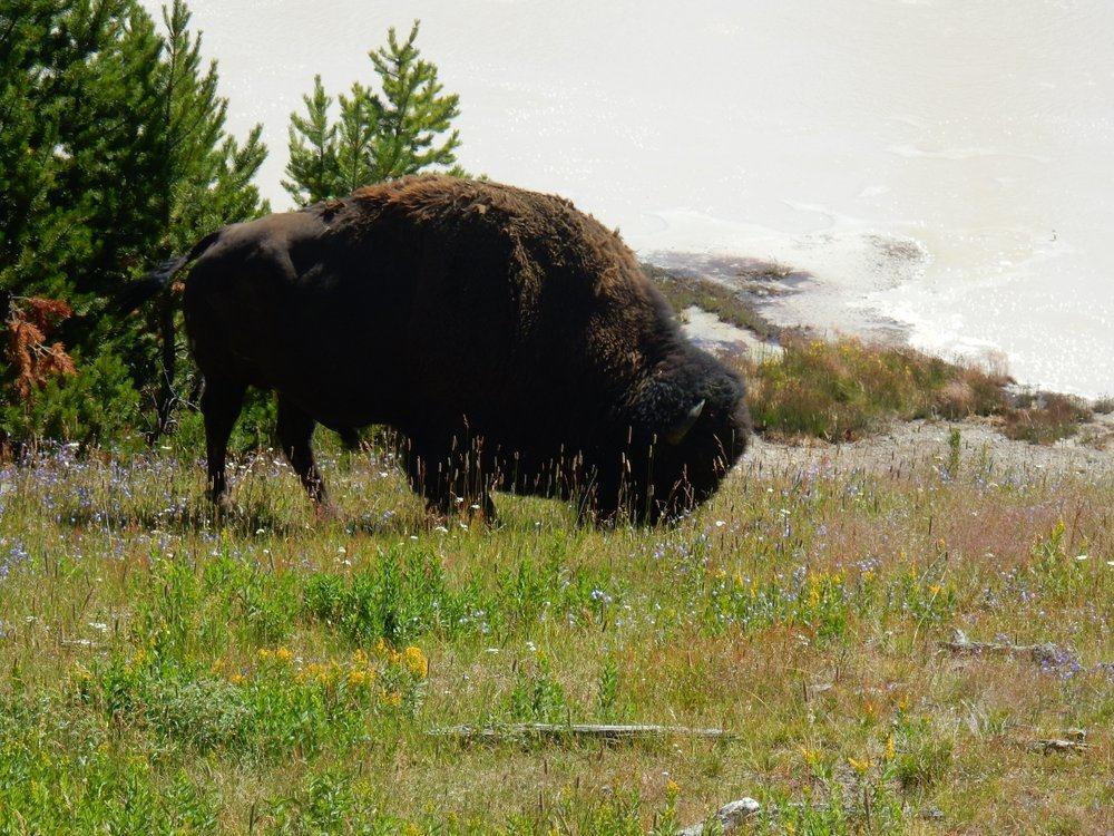 Bison Near Mud Geyser