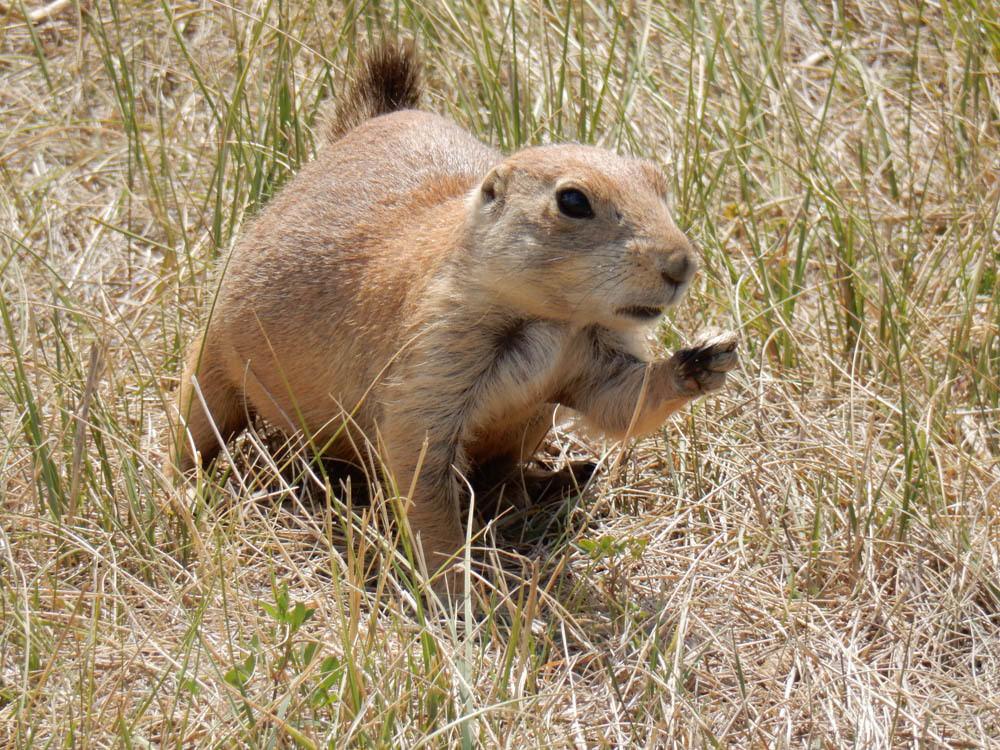 Prairie dogs fat
