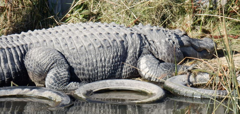 Bruce Almighty, the largest Alligator known west of the Mississippi.