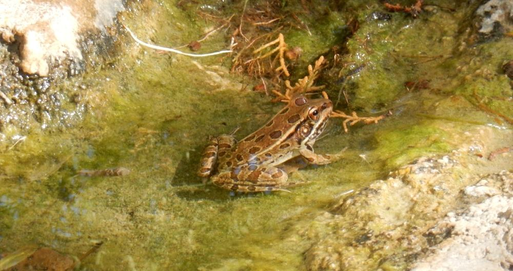 One of the inhabitants of the frog pond, a lovely creature with no cage required.