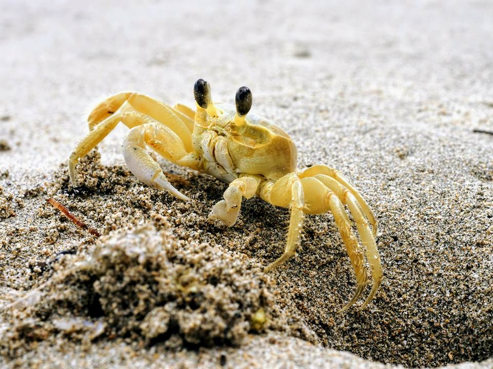 Ghost Crab - Takes a bit of patience to spot one!