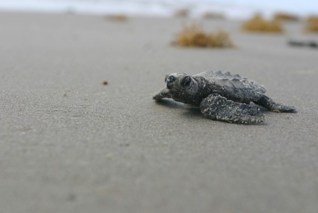Kemp's ridley hatchling - courtesy of the NPS site