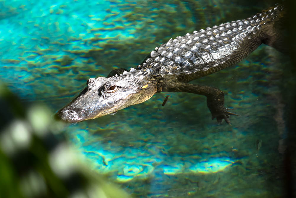 Fern Hammock Spring is not for swimming. Yeah American alligators